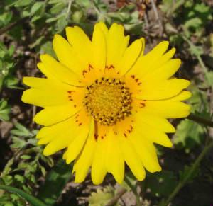 Native Wildflower Butterfly Plants Of The Lrgv Volume 2