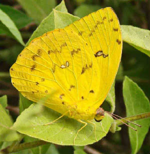 36-Orange-barredSulphur-11.jpg
