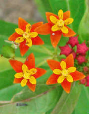 43-MexicanMilkweed-AsclepiasCurassavica-3.jpg