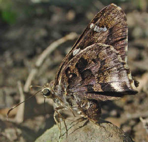 50GoldenMottled-Skipper-CodatractusBryaxis-3.jpg