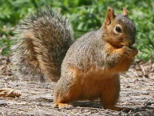 fox squirrel 1