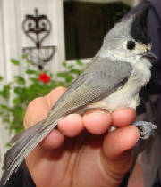 Black-crestedTitmouse-1.jpg