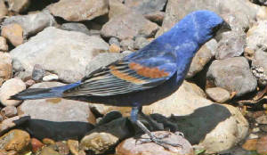 BlueGrosbeak-1.jpg
