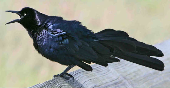 Great-tailedGrackle.jpg