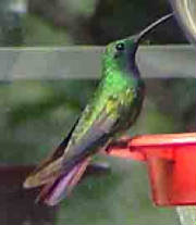 Green-breastedMango-3.jpg