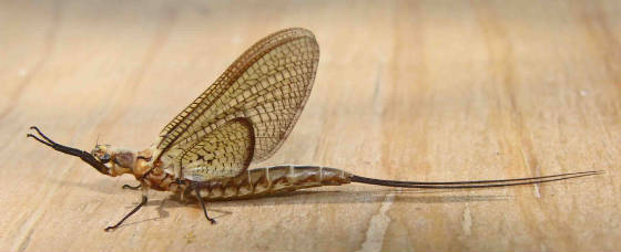 Mayfly-Hexagenia-sp.jpg