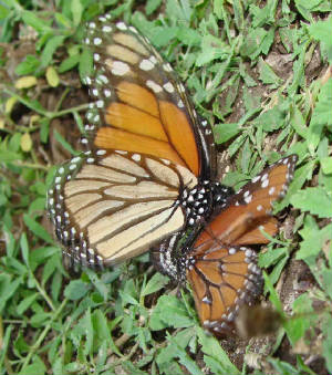 Monarch-QueenMating-1.jpg