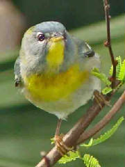 NorthernParula-DJ-1.jpg
