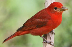SummerTanager-4.jpg