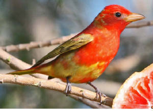 SummerTanager-7.jpg