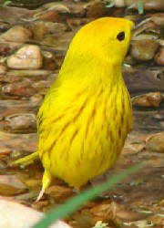 YellowWarbler-DJ-1.jpg