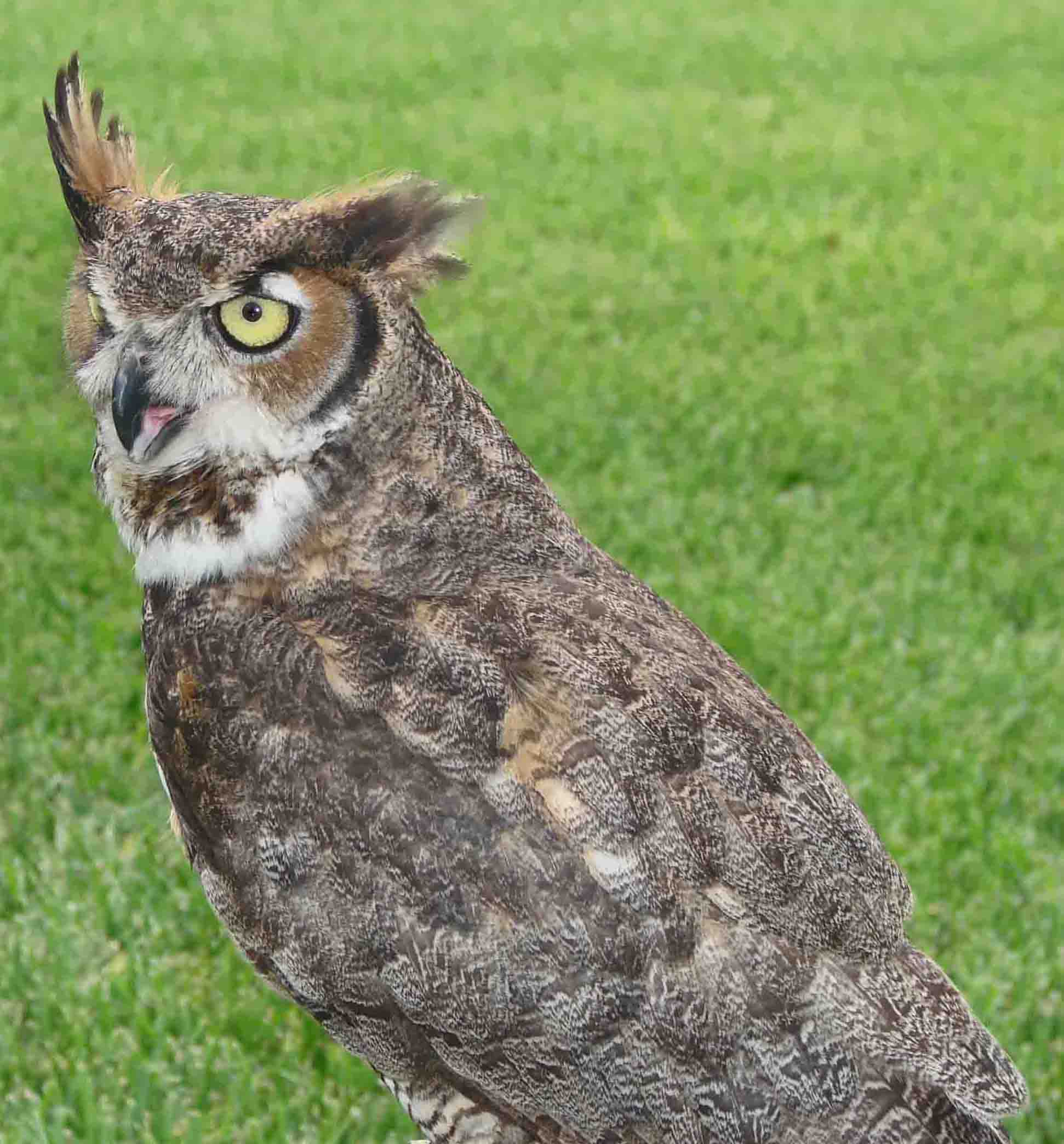 Great-HornedOwl-9.jpg