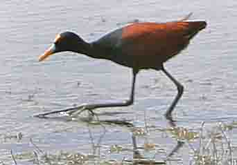 NorthernJacana-8.jpg